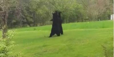 Американець зняв бійку ведмедів на своєму подвір'ї - відео