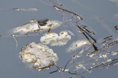 У Чернівцях в озері парку «Жовтневий» потруїли рибу через злив хімічних речовин