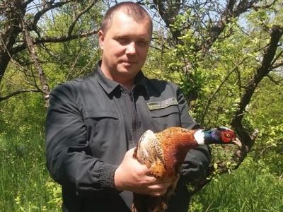 Буковинські мисливці випуситили в ліс 80 вирощених фазанів