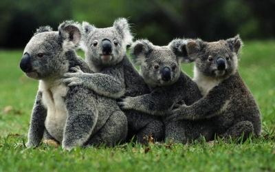 Австралійські коали вимирають через спеку і знищення лісів