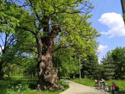 Найстаріший і один з найбільших в Україні: на Буковині росте ясен-рекордсмен