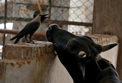 В Україні стало менше великої рогатої худоби і свиней