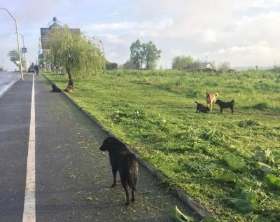 У Чернівцях порахують безпритульних собак: шукають волонтерів
