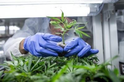 Раді пропонують легалізувати медичну марихуану
