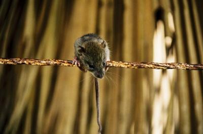 Вчені змогли «пересадити» миші аутизм від людини