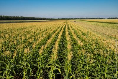 Фермери розповіли, чи будуть проблеми з урожаєм на Буковині через надмірні дощі