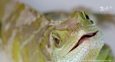 У зоопарку Вашингтона ящірка змогла запліднити себе сама і народила дитинча