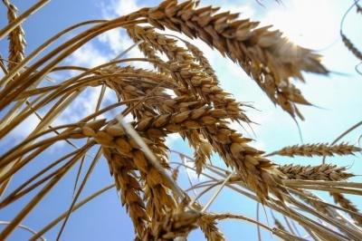 Аграрії очікують зростання врожаю зернових та олійних в Україні