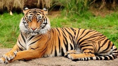 В італійському цирку тигри вбили відомого дресирувальника