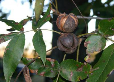 В Україні заклали плантацію екзотичних горіхів
