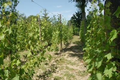Нові сорти виноградів та експериментальні господарства: на Буковині виноградарі обмінювалися досвідом