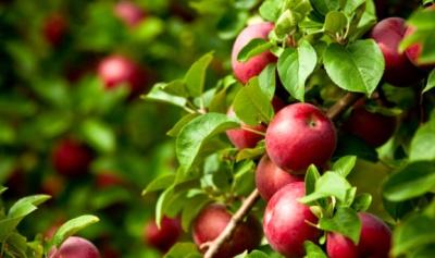 На Буковині вже з'явилися перші яблука нового врожаю