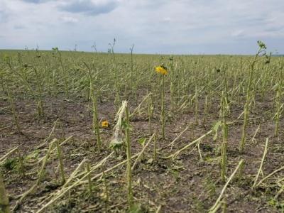 На Буковині стихія знищила понад 800 гектарів врожаю