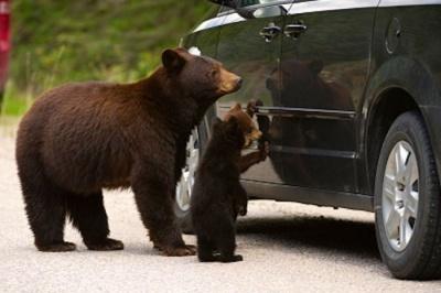 У США ведмідь сів у машину і потрапив у ДТП