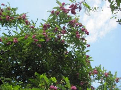 В Черновцах вдруг зацвела розовая акация - фото