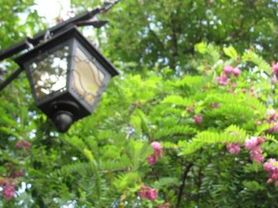 У Чернівцях вдруге зацвіла рожева акація – фото