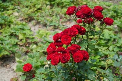 На дачі Лідії Ротару – море квітів і трав: журналісти МБ побували вдома у співачки