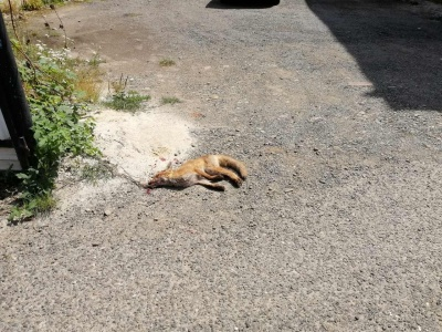 У центрі Кіцманя вбили лисицю, бо запідозрили, що вона скажена
