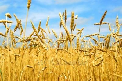 На Буковині вогнем знищено посіви пшениці