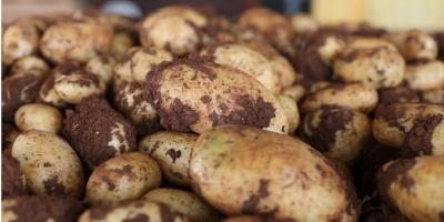 В Україні очікується неврожай картоплі та овочів для борщу