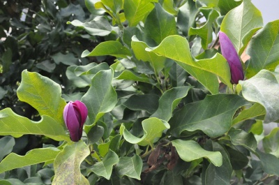 Квітуча аномалія: у Чернівцях втретє за рік розцвіли магнолії – фото