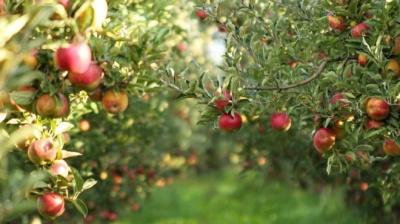Ситуація з урожаєм не дуже хороша: фермери Буковини прогнозують, що яблука будуть дорожчати