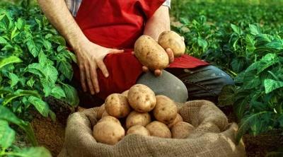 Ціни на картоплю в Україні зросли вдвічі: що буде далі