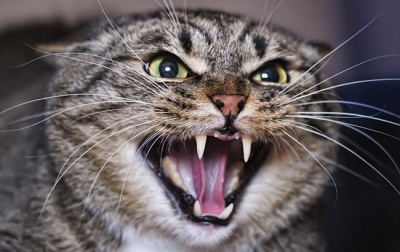 Скажений кіт покусав 9-річну дівчинку в Сторожинці та помер