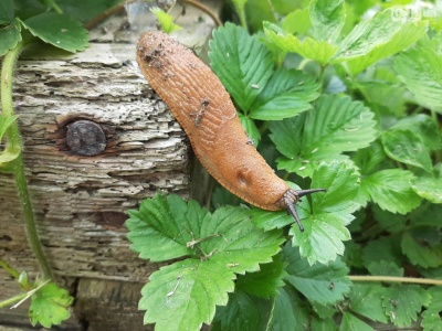 Руді слимаки продовжують знищувати городину на Буковині