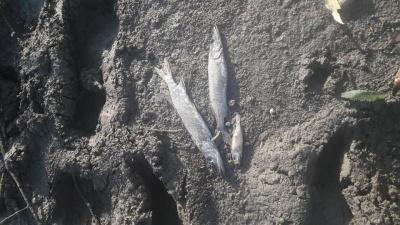 У річці на Буковині виявили масову загибель риби – фото