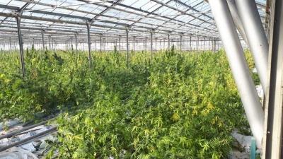 В теплицах на Прикарпатье разоблачили рекордную плантацию марихуаны - видео