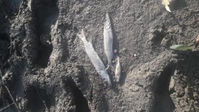 Стало відомо, чому масово загинула риба у Дністрі на Буковині