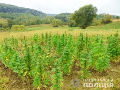 На Буковині поліцейські виявили нелегальне вирощування конопель