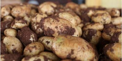 Україна імпортувала рекордні обсяги картоплі