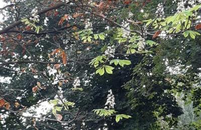 У Чернівцях вдруге за рік зацвіли каштани – фото