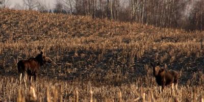 В Україні остаточно заборонили вбивати лосів