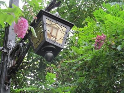У Чернівцях знову зацвіла рожева акація
