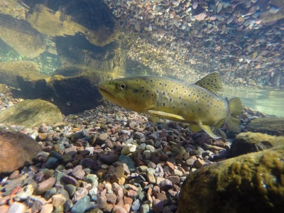 На Буковині сьогодні стартує нерест форелі: де заборонено ловити рибу