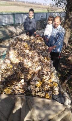 Сім'я з Прикарпаття зібрала масштабну партію грибів – фото