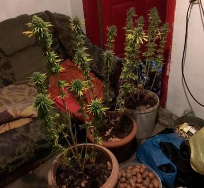 Вирощували наркотики в будинку: поліція вилучила у двох буковинців канабіс і коноплі