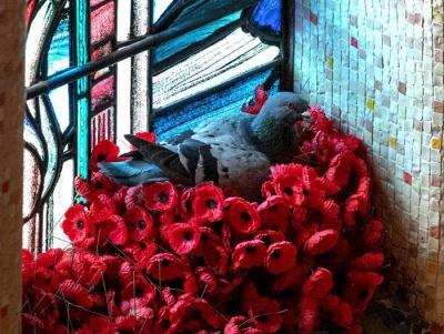 В Австралії голуб крав штучні квіти з меморіалу і робив з них гніздо