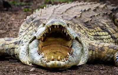 В Австралії чоловік видряпав око крокодилу, щоб захиститися від нападу