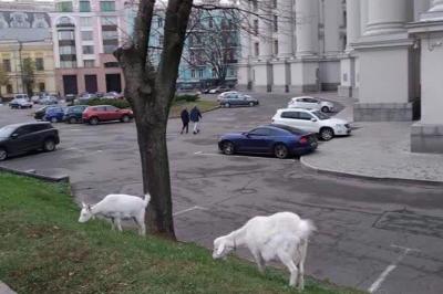 Біля будівлі МЗС у Києві паслися кози – фото