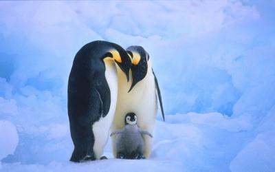 В зоопарку пінгвіни-геї вкрали яйце у гетеросексуальної пари