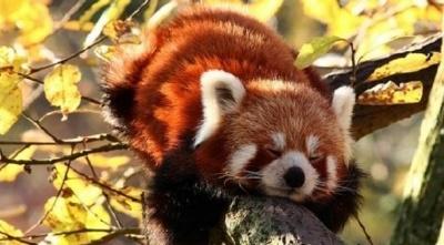 Червона панда, яка перебуває на межі зникнення, втекла з зоопарку Франції