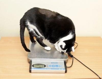Найтовстішу кішку Британії посадили на сувору дієту