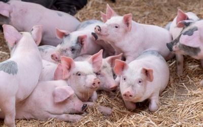 На журналіста у прямому ефірі напала свиня