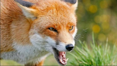 На вулицях Чернівців помітили скажену лисицю