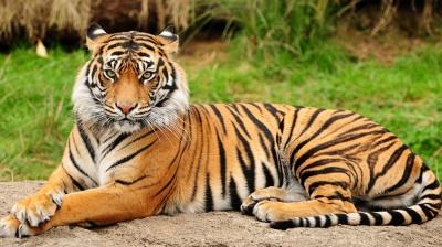 В Індії чоловік перефарбував собаку в тигра, щоб відлякувати мавп