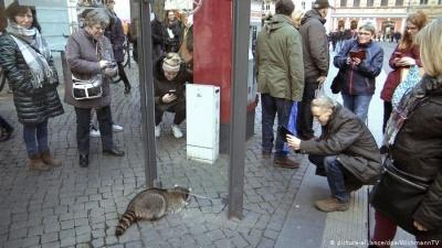 У Німеччині на різдвяному ярмарку спіймали п'яного єнота